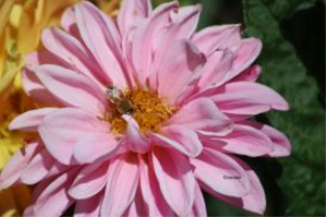 honeybee on a dahlia flower 4 | Photos and Images | Animals