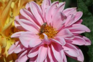 honeybee on a dahlia flower 3 | Photos and Images | Animals