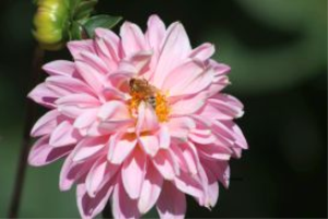 honeybee on a dahlia flower 2 | Photos and Images | Animals