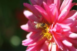 honeybee working on dahlia flower 131 | Photos and Images | Animals