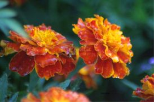 marigold flower blooms | Photos and Images | Botanical