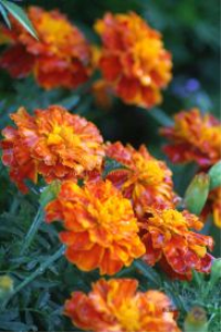 marigold flower blooms 2 | Photos and Images | Botanical