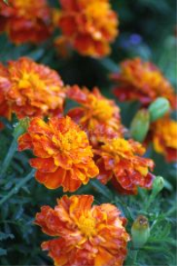 marigold flower blooms 3 | Photos and Images | Botanical