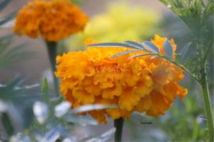 marigold flower blooms 4 | Photos and Images | Botanical