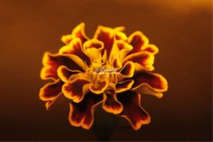 Marigold flower | Photos and Images | Botanical