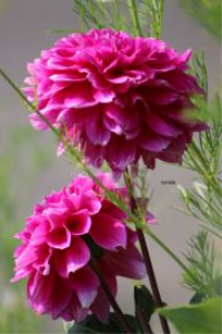 pink dhalia flower blooms | Photos and Images | Botanical