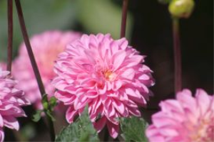 pink dahlia flower blooming in the garden | Photos and Images | Botanical