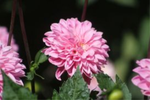 pink dahlia flower | Photos and Images | Botanical