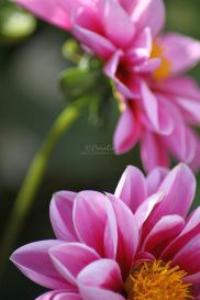 pink dahlia 2 | Photos and Images | Botanical