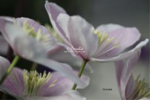 Pink and Whit Clematis Flowers | Photos and Images | Botanical