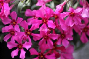 Phlox Flowers | Photos and Images | Botanical