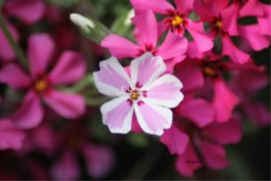 Phlox Flower Odd Flower Out | Photos and Images | Botanical