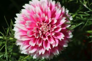 pink white dahlia flower bloom 2 | Photos and Images | Botanical