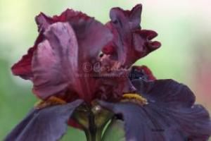 Dark Purple Black Yellow Bearded Iris | Photos and Images | Botanical