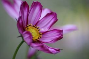 Purple White Cosmos Flower Bloom | Photos and Images | Botanical