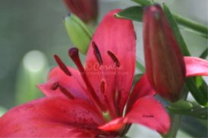 red lily flower bloom and bud | Photos and Images | Botanical