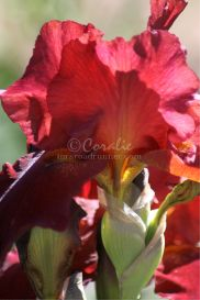 Red Bearded Iris Flower | Photos and Images | Botanical