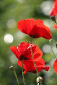 red poppy flowers 2 | Photos and Images | Botanical