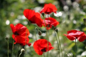red poppy flowers | Photos and Images | Botanical