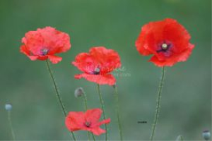 red poppy flower blooms | Photos and Images | Botanical