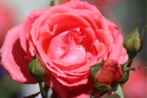 rose flower bloom | Photos and Images | Botanical