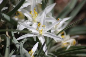 Wild Sand Lily 2 | Photos and Images | Botanical