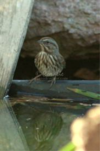 song sparrow bird set #2 of 2 | Photos and Images | Animals