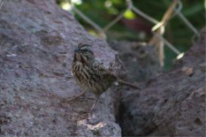 song sparrow bird set #1 of 2 | Photos and Images | Animals