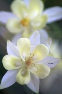 soft colors of the columbine flower blooms | Photos and Images | Botanical