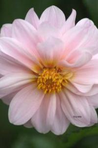 soft pink dahlia | Photos and Images | Botanical
