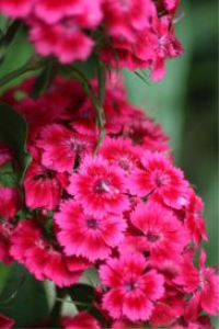 red sweet william flower blooms | Photos and Images | Botanical