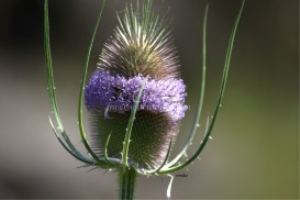 Thistle Flower | Photos and Images | Botanical