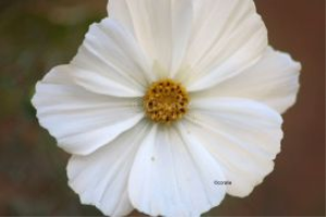 White Cosmos Flower Bloom | Photos and Images | Botanical
