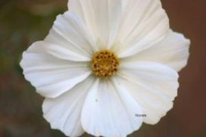 white cosmos flower bloom