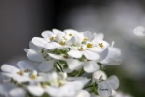 White Flowers 3 | Photos and Images | Botanical