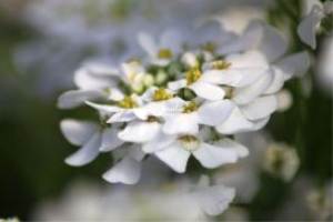 White Flowers 2 | Photos and Images | Botanical