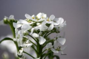 White Flowers | Photos and Images | Botanical