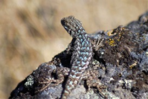 western Fence Lizard 6 | Photos and Images | Animals
