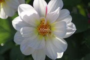 white dahlia flower | Photos and Images | Botanical
