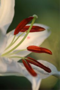 white lily flower bloom 50 | Photos and Images | Botanical