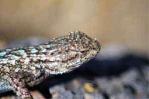 western Fence Lizard 4 | Photos and Images | Animals