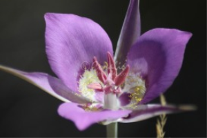 Sagebrush Mariposa Lily | Photos and Images | Botanical