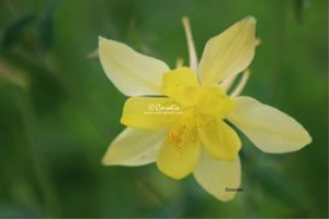 yellow columbine flower bloom 2 | Photos and Images | Botanical