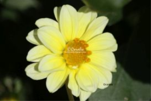 yellow dahlia flower | Photos and Images | Botanical