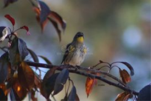 yellow rumped warbler 3 | Photos and Images | Animals