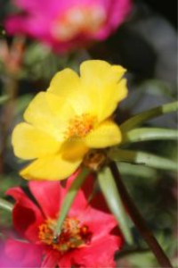 Yellow Moss Rose Flower Bloom | Photos and Images | Botanical