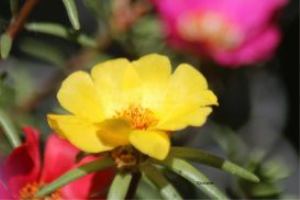 Yellow Moss Rose Flower Bloom 2 | Photos and Images | Botanical
