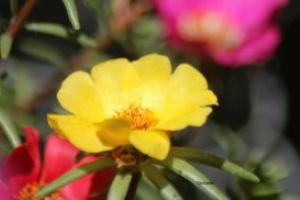 yellow moss rose flower bloom 2