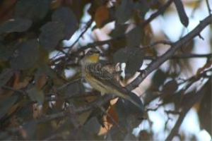 yellow rumped warbler 6 | Photos and Images | Architecture