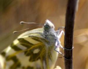 Just Emerged Green-Veined White Butterfly | Photos and Images | Animals